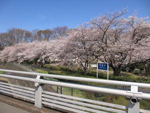 残堀川の桜の写真
