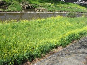 川岸の菜の花の写真
